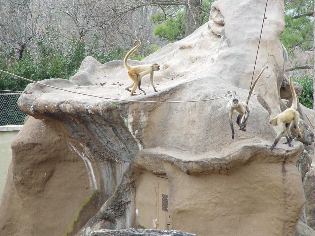 DSC01193 Spider Monkeys At Little Rock Zoo Arkansa Feb
