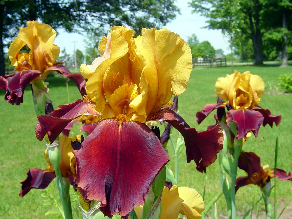 yellow and burgundy iris flowers  yellow and burgundy or s…  flickr, Beautiful flower