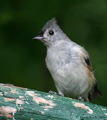 Posing Titmouse | by Justin_K