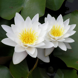 White Water Lilies | by Jeannot7