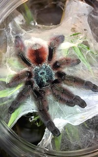 Avicularia versicolor | by Tom's Big Spiders