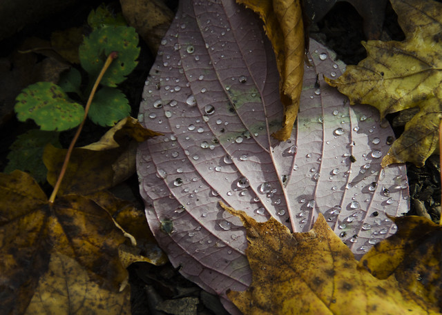 Wet leaves on the Bruce Trail near Hilton Falls