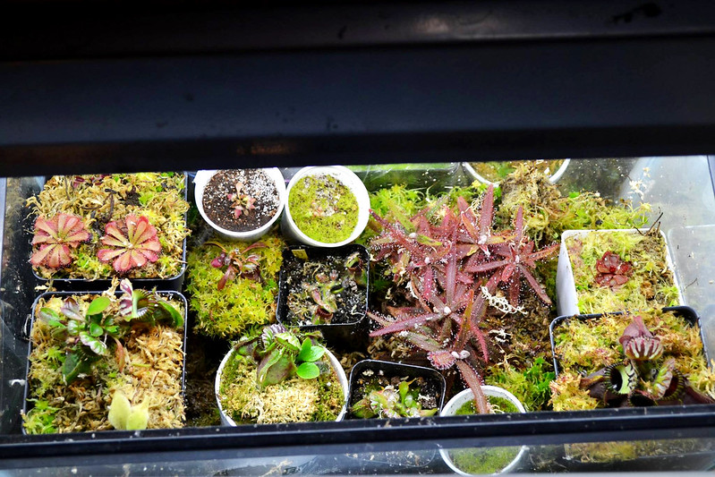 Indoor growing tank with Cephalotus and others.