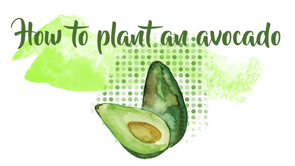 how to plant an avocado