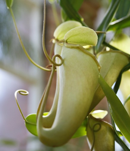 Another Pitcher plants | by Percita