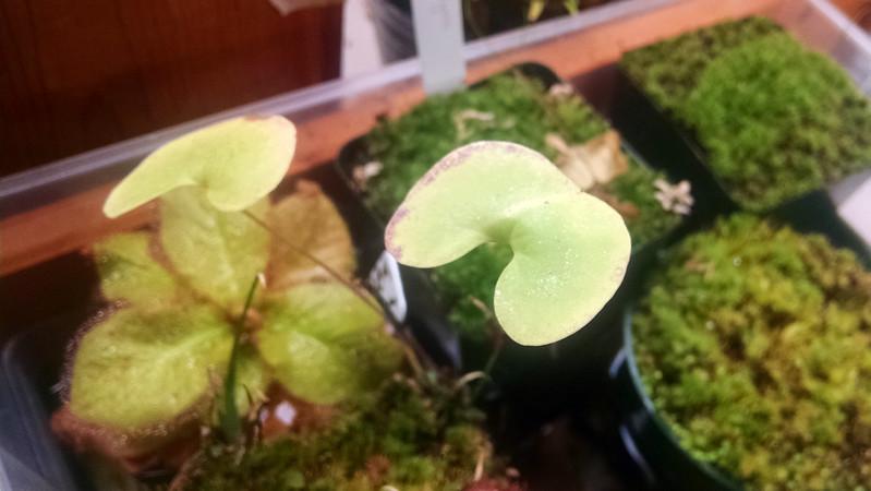 Utricularia cornigera.