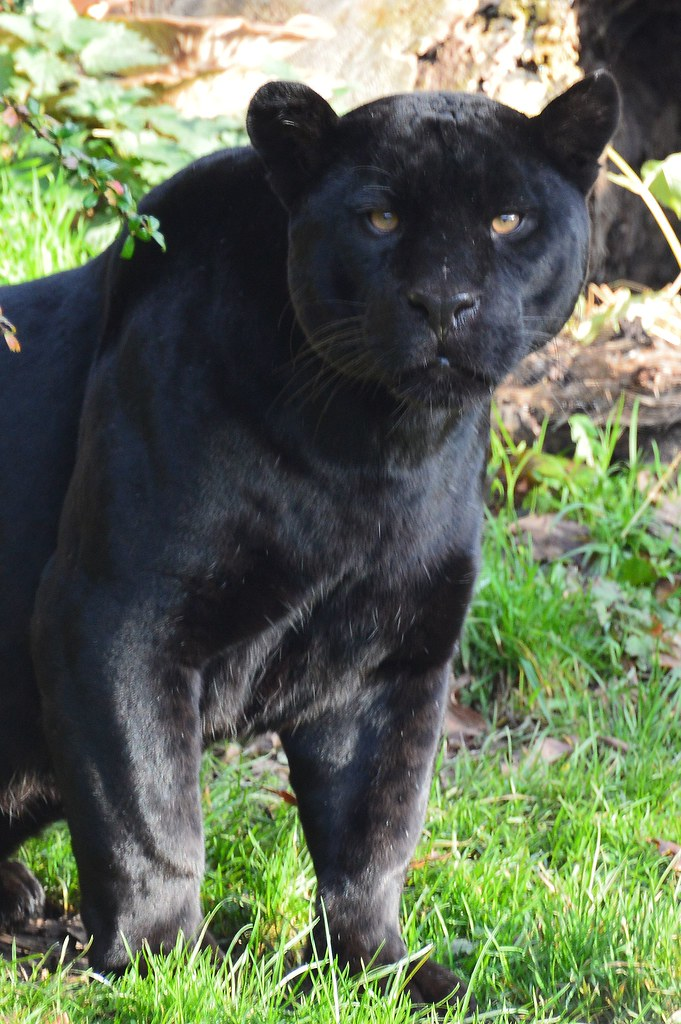 Black Panther Jaguar Chester Zoo Cheshire Flickr