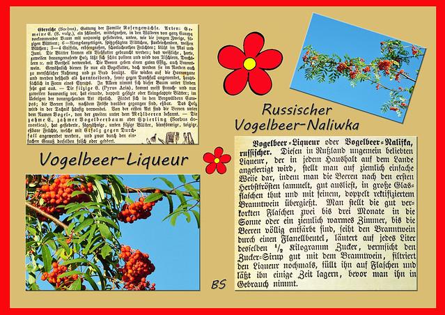 Eberesche Vogelbeere Sorbus aucuparia giftig essbar Rezept Rezeptur Gelee Likör Liqueur Naliwka Brigitte Stolle Kräuterpädagogin Mannheim September 2015