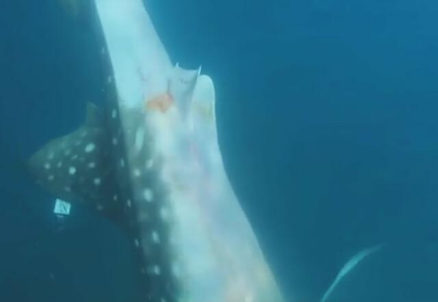 洩殖孔滲著血的鯨鯊2號緩緩地下沉,回家了!擷取公視我們的島第716集-鯨鯊要回家