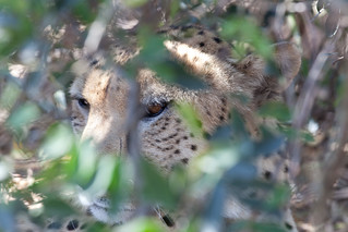 Cheetah hiding in the bushes | by Thomas Revå