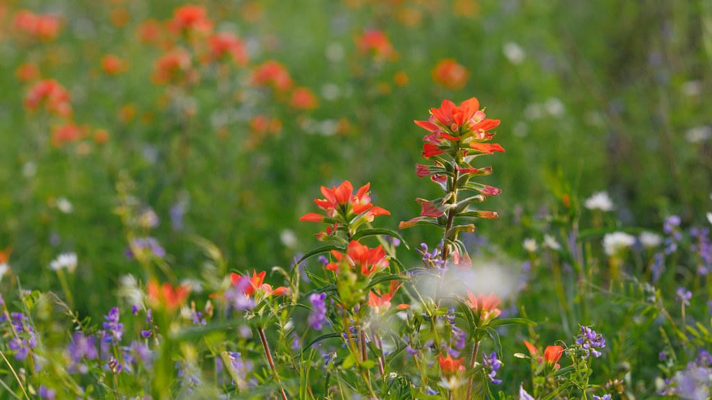 Texas Spring Flowers Matthew Gilley Flickr