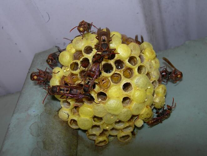 僅具單層巢脾的雙斑長腳蜂窩,黃色部分為幼蟲化蛹所結之繭蓋。圖片攝影:陸聲山