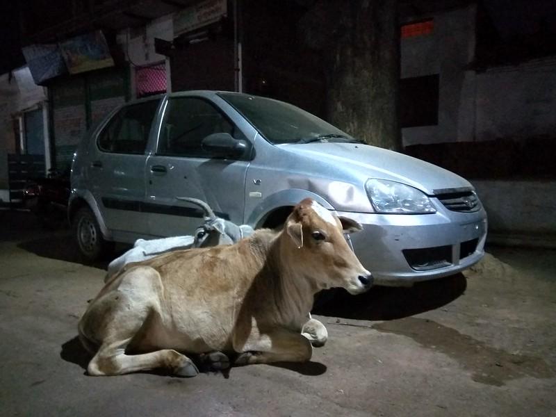 Индия, вечер, коровы