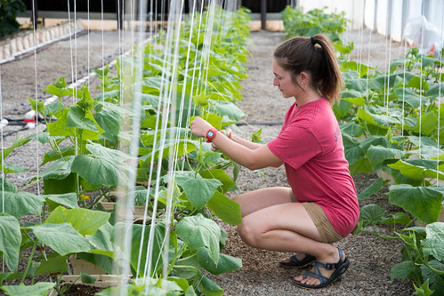 Evie Smith, a graduate of Auburn University's College of Agriculture, checks on the cucumber plants at E.W. Shell Fisheries Center.