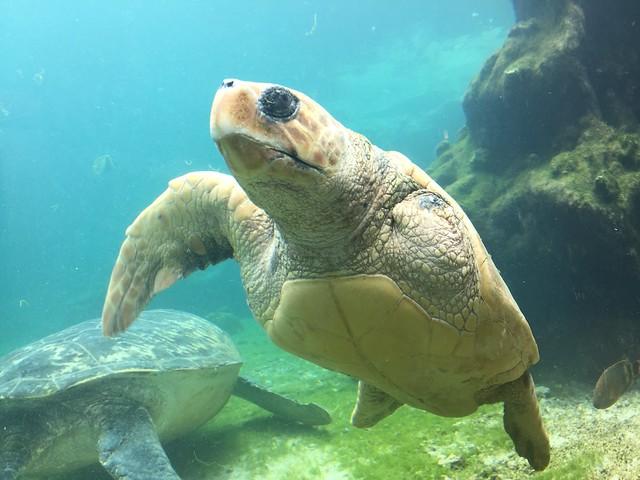 Tortuga marina de Kélonia (Isla Reunión)