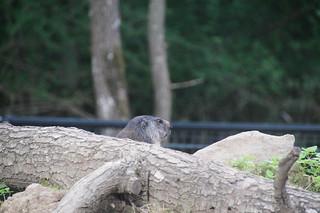 058 Marmot