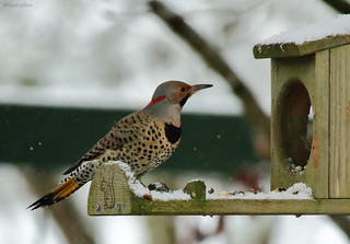 Northern Flicker  - Yellow Shafted - 094A5108a1c | by Sue Coastal Observer