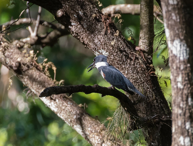 belted kingfisher 091_1293
