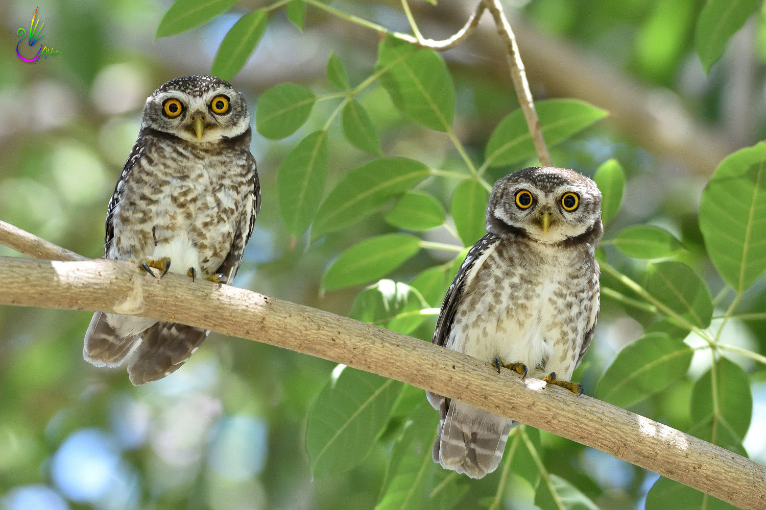 Spotted_Owlet_9265
