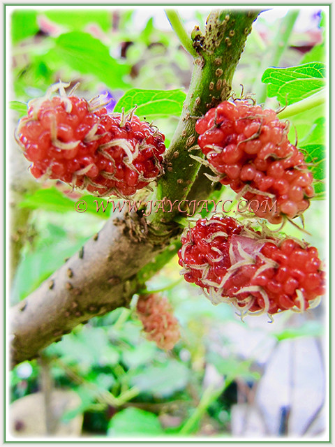Morus nigra that provide us fruits endlessly during the hot season, 1 March 2017