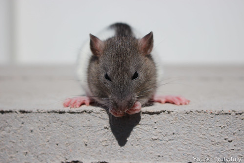 Still so small, rat pups sometimes topple over when grooming themselves. Topsy has learned how to stay balanced.