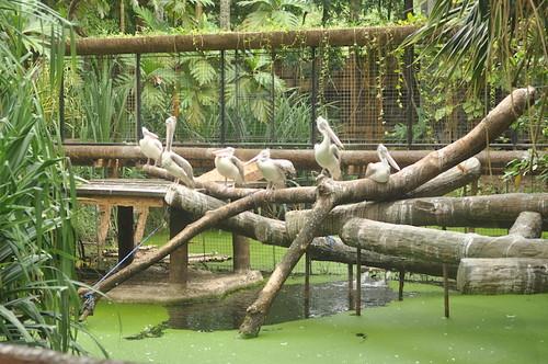Pelicans (Avilon Zoo)