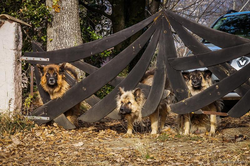 Perros de una casa en el Camí Ra del Vic a Olot, llegando a Cantonigròs