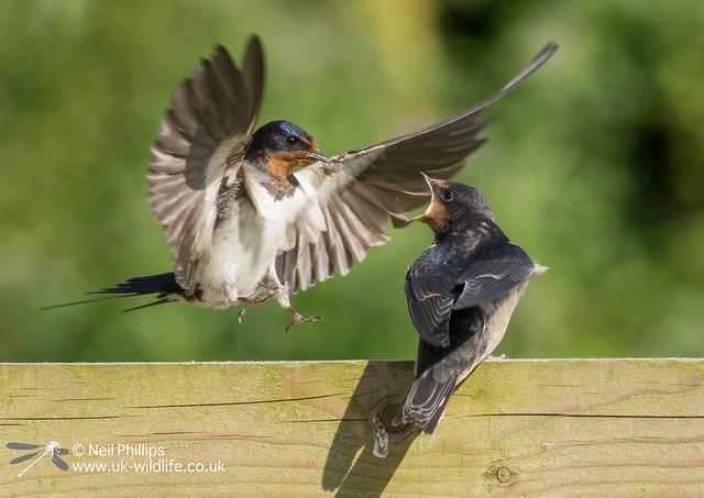 29 swallow
