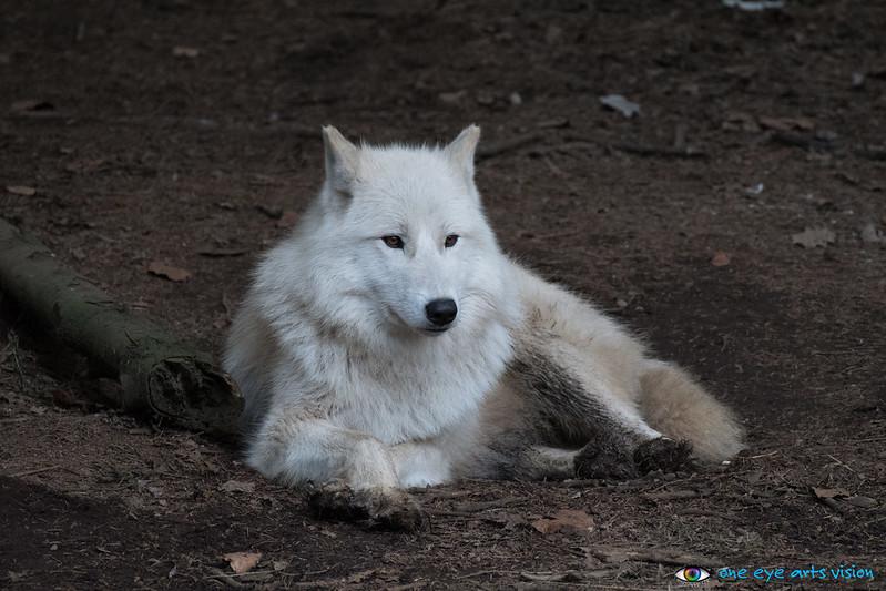 wolfs/foxes & birds