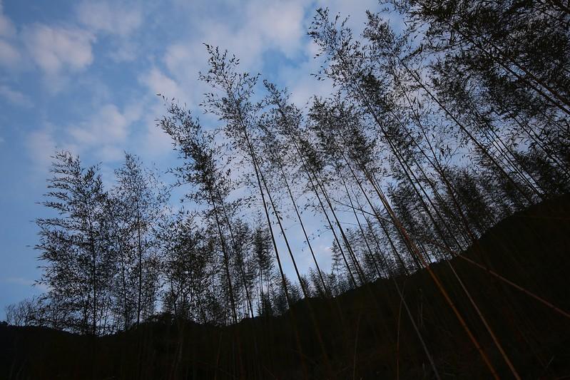 高矗的竹林