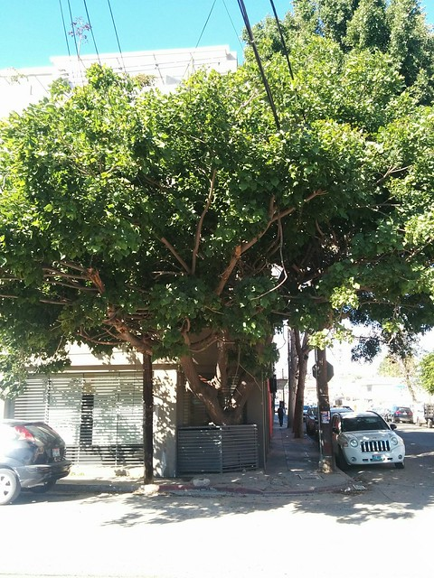 mi fave tree en la colonia cacho