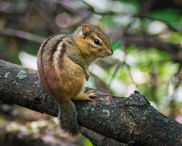 Chipmunk, Eastern Chipmunk, Nature, Woodland, Cute