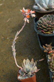 DSC_5375 Echeveria cv. SUMIE  エケベリア 澄江