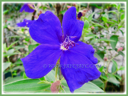 Tibouchina urvilleana with gorgeous purplish-blue flower at our frontyard, 1 March 2017