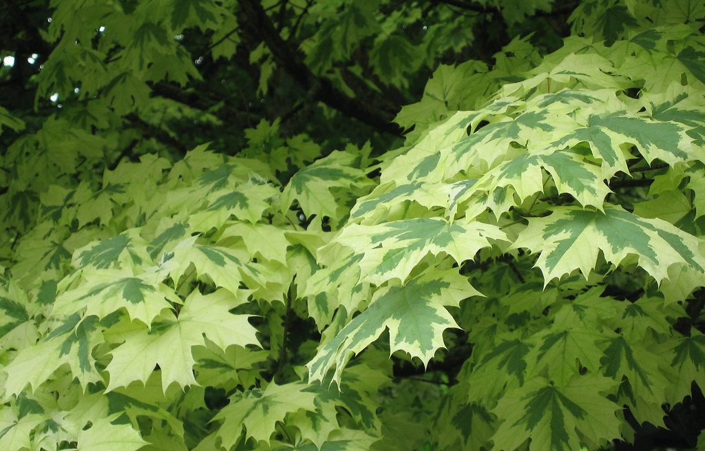 Variegated Maple Leaves | This is from a huge variegated ...