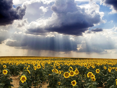 Campo de Girasoles | by Haciendo clack