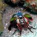 Peacock Mantis Shrimp, couldn't get enough of him
