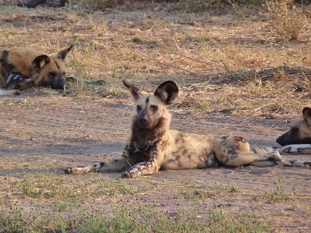 Los licaones son complicados de ver en Botswana, pero de vez en cuando se da un golpe de suerte