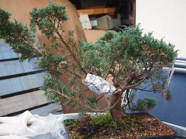 Juniper air-layers   twinsrat bonsai
