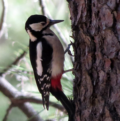 Great-spotted Woodpecker Dendrocopos major canariensis Los Llanos, Gran Canaria December 2016