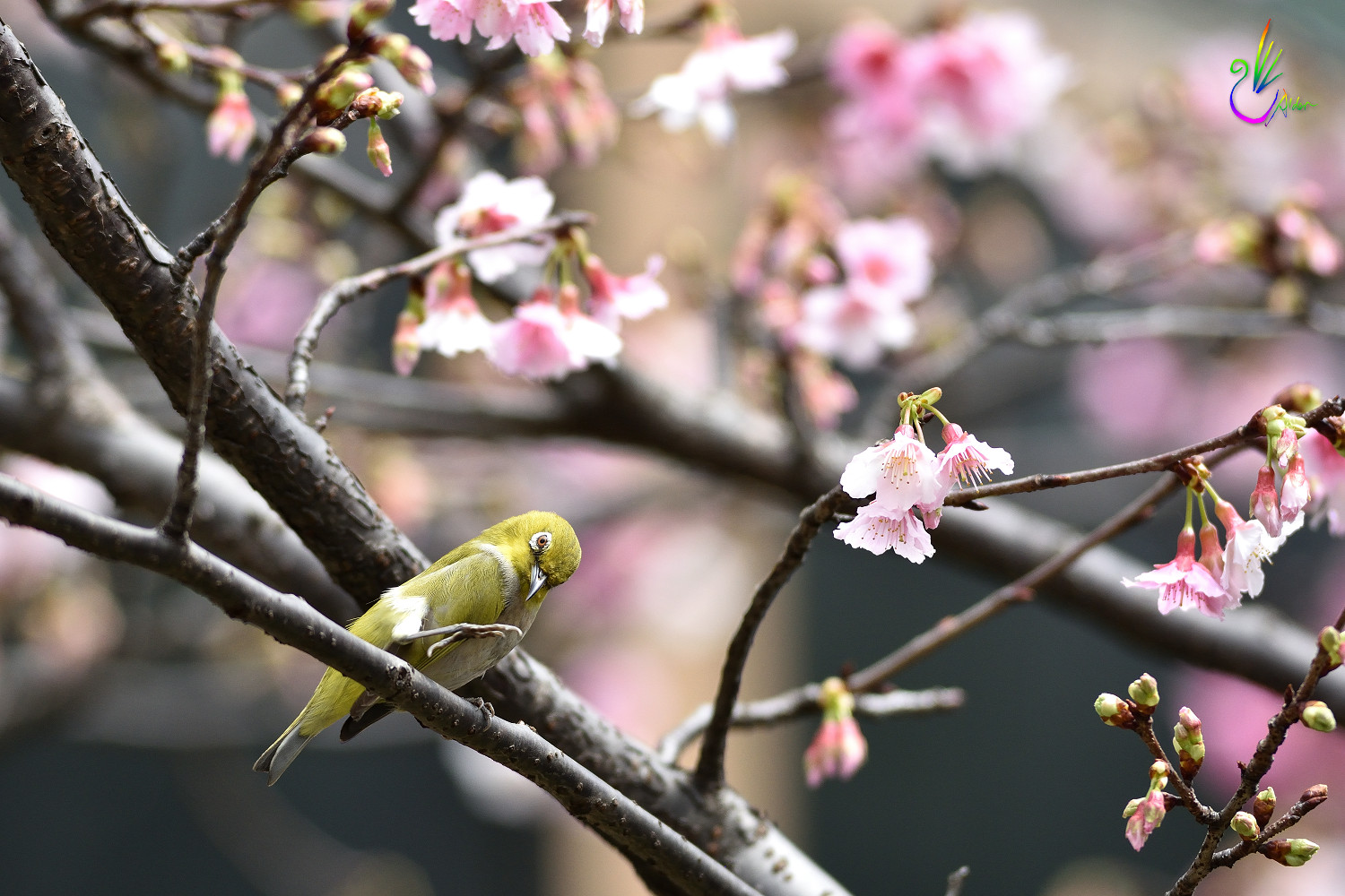 Sakura_White-eye_9402