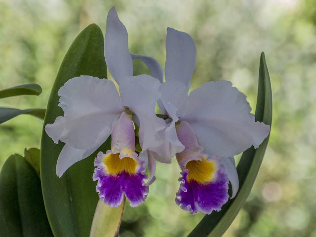 Cattleya Trianae The National Flower Of Colombia Photo