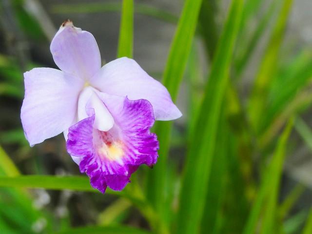 Orquídea de chão