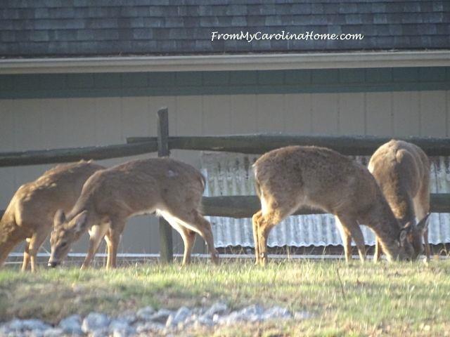 Deer herd visit -4