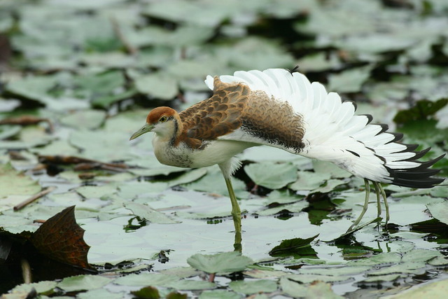 水雉8週以上幼鳥。圖片來源:林務局