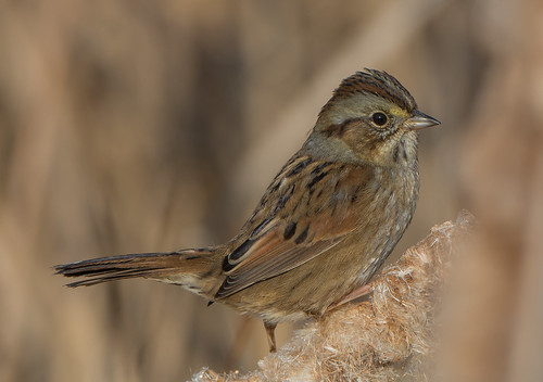 Swamp Sparrows