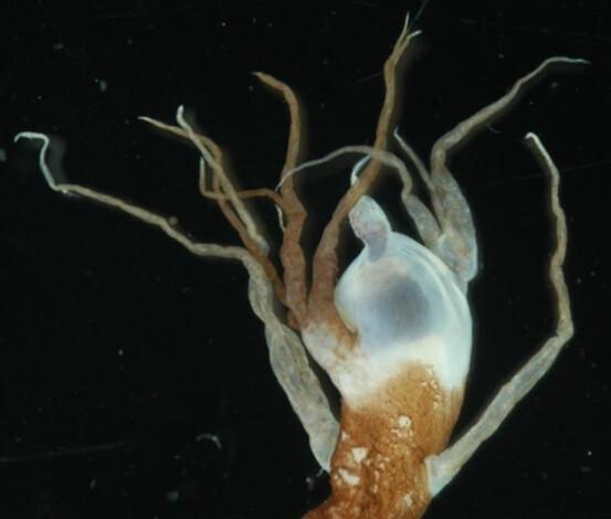 蟾鮟鱇(Bufoceratias wedli)的餌球發光器上具有不少分支,但是遠不及邵氏蟾鮟(上圖)鱇的餌球來的複雜。圖片作者:何宣慶。