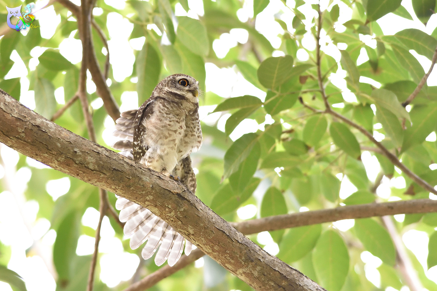 Spotted_Owlet_3295