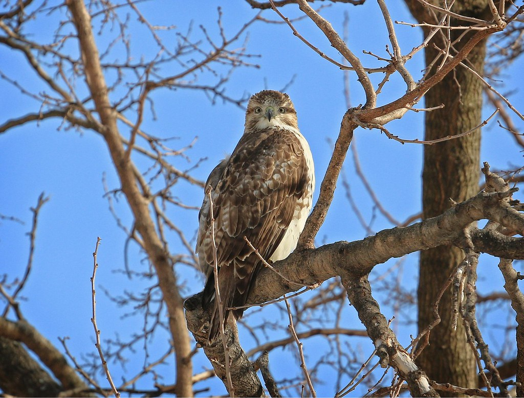 Juvenile red-tail