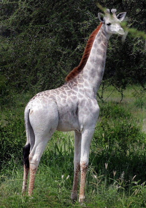 Omo, the leucistic giraffe spotted roaming around Tarangire National Park, in Tanzania.